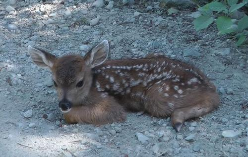 Image result for Lonely baby deer mistakes logger for her mom