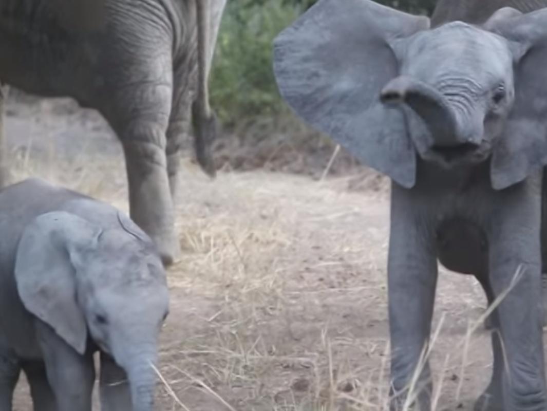Un lindo bebé elefante embiste graciosamente a los turistas