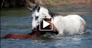 When this young foal is at risk of drowning this experienced stallion knows how to help