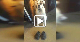 Hilarious Boxer Sees Human's New Shoes And Does The Funniest Thing!