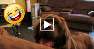 [Video] Mom Hides A Nanny Cam To Spy On The Family Dog. He Sniffs Out Her Plan And It Is Funny!
