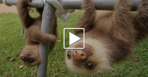 Adorable Warning! Rescued Baby Sloths Are So Chatty.