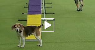 This Beagle Has Stolen The Hearts Of The World With His Funny Performance At The Westminster Dog Show