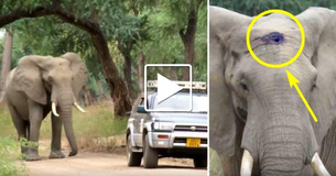 Elephant Shot In Head By Poachers Walks Right Up To Doctors To Ask For Help. Watch What Happens...