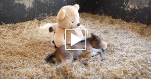 Abandoned Pony Dearly Misses Mom. Then Rescuers Give Him A Big Teddy Bear To Cuddle Up With
