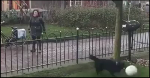 This Clever Dog Throws The Ball Over Fence So Passersby Will Play Fetch With Him!