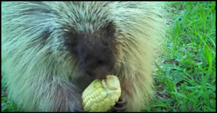 Mom Offers Porcupine Some Corn. Wait Till You Hear The Sound He Makes When She Asks To Get It Back