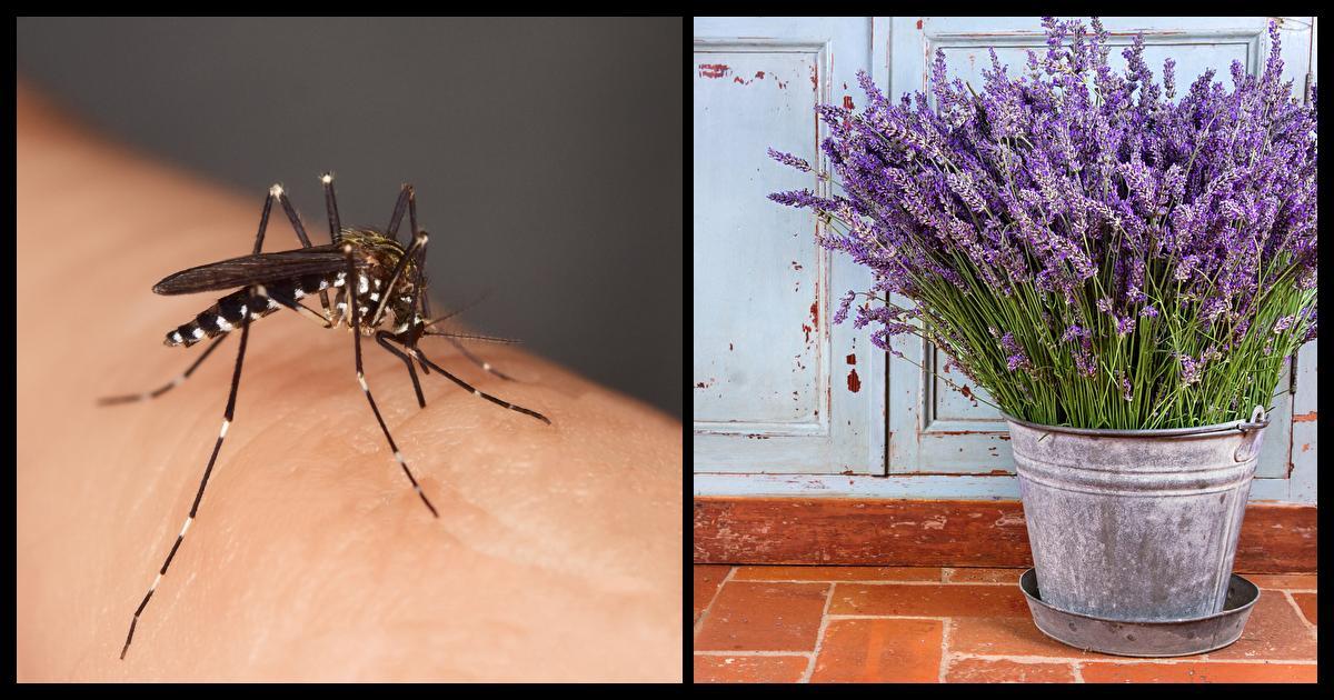 15 plantes communes qui repousseront les moustiques tout en sentant tonnamment bon. Black Bedroom Furniture Sets. Home Design Ideas