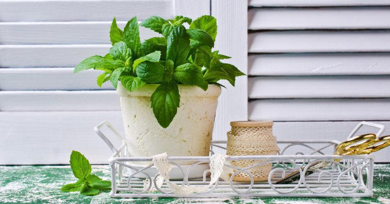Place peppermint plants in your house and say goodbye to spiders